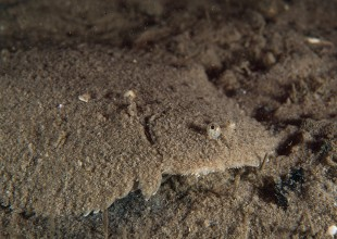 Brachirus nigra, Black Sole