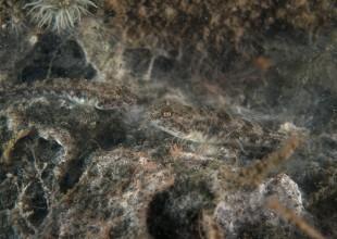 Nesogobius maccullochi, Girdled Goby