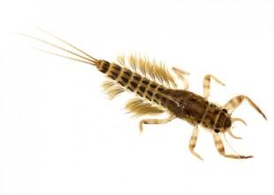 MV David Paul stonefly larva Avon River