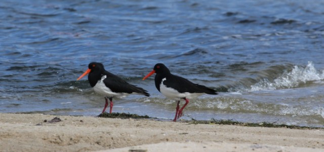 Pied Oyster catchers