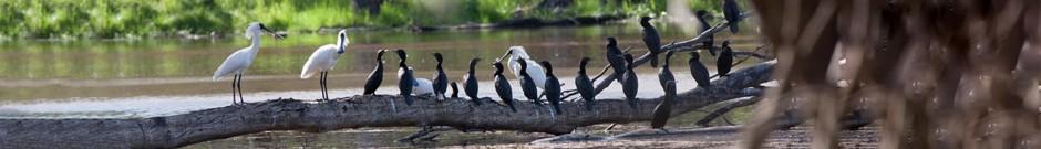 Header-Spoonbills