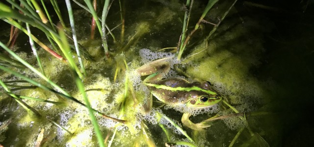 One of the Growling Grass Frogs discovered at Clyde Bank