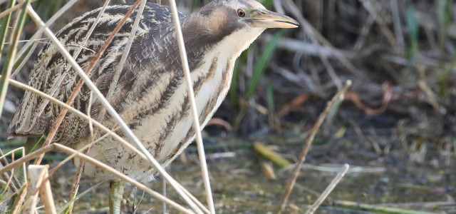 Australasian Bittern at Sale Common